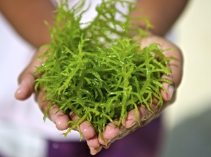 Medical potential for seaweed extract