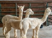 According to researchers, alpacas could help fight