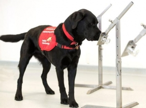 Canines trained to detect COVID 19
