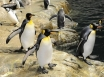 Penguins in Phillip Island to star in live nightly